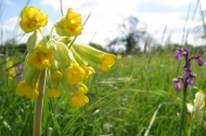 Cowslip at Ashton's Meadow. Photograph Adam Cormack.