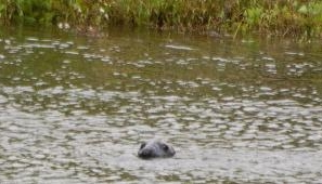 Grey seal photographed in the River Trent near Collingham by Dr Robin Brace