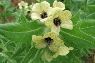Henbane in the family Solanaceae growing near Dunham Bridge. Photograph: Brian Hedley