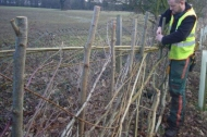 Hedge plashing training at Lea Park near Gainsborough