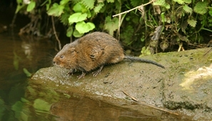 Water voles are making a comeback in Trent Vale thanks to conservation work to improve wetland habitats. Photograph: John Smith