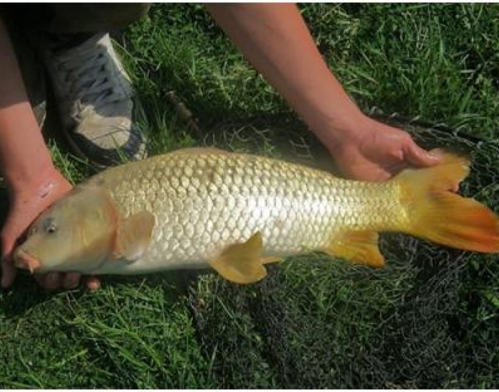 Runner Up for Under 16 Trent Vale Photography Competition - Darren Biddle, carp from the Trent