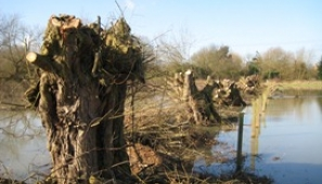 Pollarded willows mark the boundaries between these historic floodplain meadows at Girton