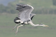 Heron in flight. Photograph: Darin Smith