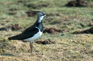 Lapwing. Photograph: Darin Smith