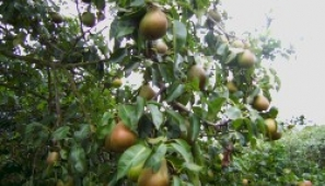 Identification of apples and pears at the farm near Tuxford may reveal some traditional local varieties