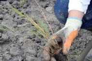 Thousands of reed plugs are planted to create reedbed at Besthorpe Nature Reserve