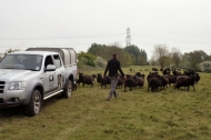 Notts Wildlife Trust's Hebridean sheep flock at Besthorpe Nature Reserve