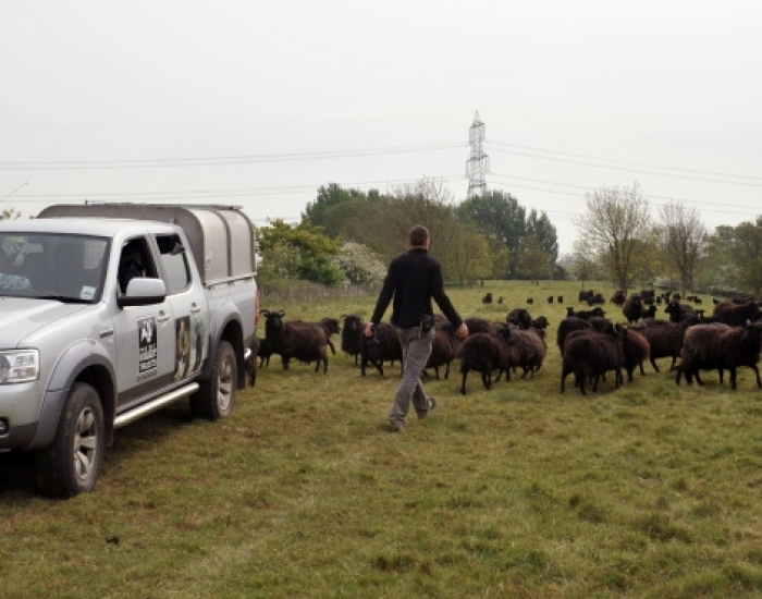 Notts Wildlife Trust's Hebridean sheep flock at Besthorpe Nature Rese