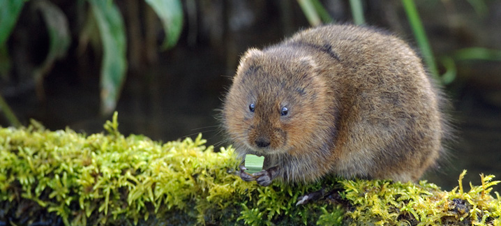 Water vole is in decline but partners are working together to improve their habitat in the Trent Vale. Photograph: David Kjaer (rspb-images.com)
